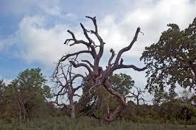 Oak wilt pic 2