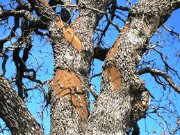 Oak wilt pic 3